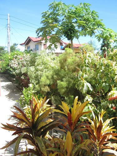 Our garden provides a lot of vegetables and fruits like coconuts and papaya:D